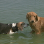 Pups dip their paws in Ashwaubomay Lake
