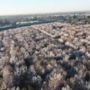 A view above the blossoms in Northeast Fresno