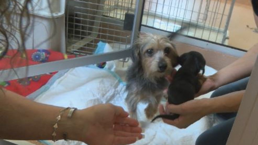 Want To Adopt One Of The Rescued Yorkie Poo Dogs Youll Have To