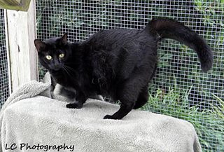 Rita is a Domestic Short Hair-black. Female/Spayed/current on vaccines