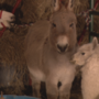 Iowa farmer creates live nativity scene with exotic animals