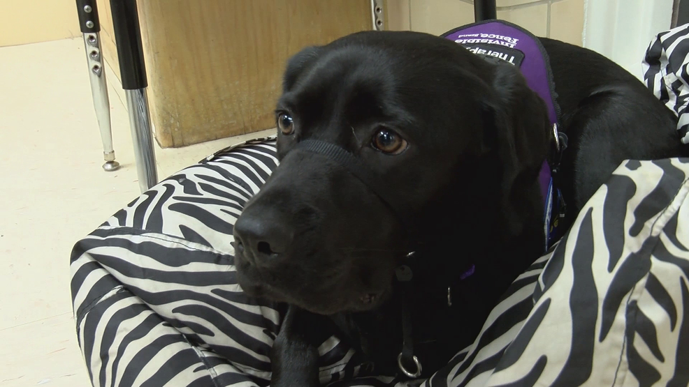 Washington Local Schools introduces its first therapy dog at Monac  Elementary