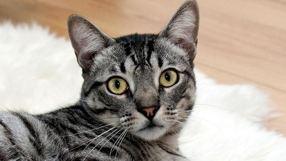 Michigan Cat Adoptions