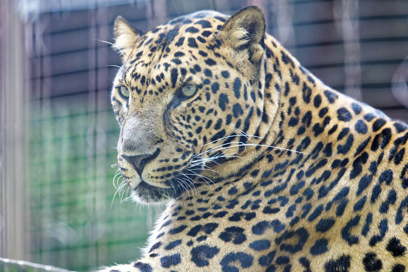 Rodney is a male leopard from Long Island, NY. He was discovered with another leopard, George, during a domestic dispute. Since it's illegal to own exotic cats in New York, they were confiscated and brought to the EFRC. / Image: Stephen D. McCloud, via the Exotic Feline Rescue Center // Published: 12.5.18