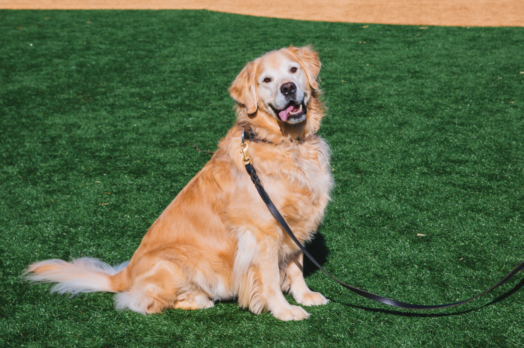 This weeks RUFFined Spotlight is Bailey the eight-year-old Golden Retriever! Bailey is a born and raised Washingtonian and is the grandson of a Westminster Sporting Group winner and has dabbled himself in dog shows, 4H and modeling. He likes treats (especially popcorn), cheese, freeze dried fish, snow, going to the dog park, chasing tennis balls and frisbees, dock diving and swimming, fetching socks for attention, supervising squirrels and back massages. He dislikes the bear at the Brown Bear Car Wash, has been known to give the stink eye to foster cats and small dogs that jump on the couch and being leashed on a beautiful beach.  The Seattle RUFFined Spotlight is a weekly profile of local pets living and loving life in the PNW. If you or someone you know has a pet you'd like featured, email us at hello@seattlerefined.com or tag #SeattleRUFFined and your furbaby could be the next spotlighted! (Image: Sunita Martini / Seattle Refined).