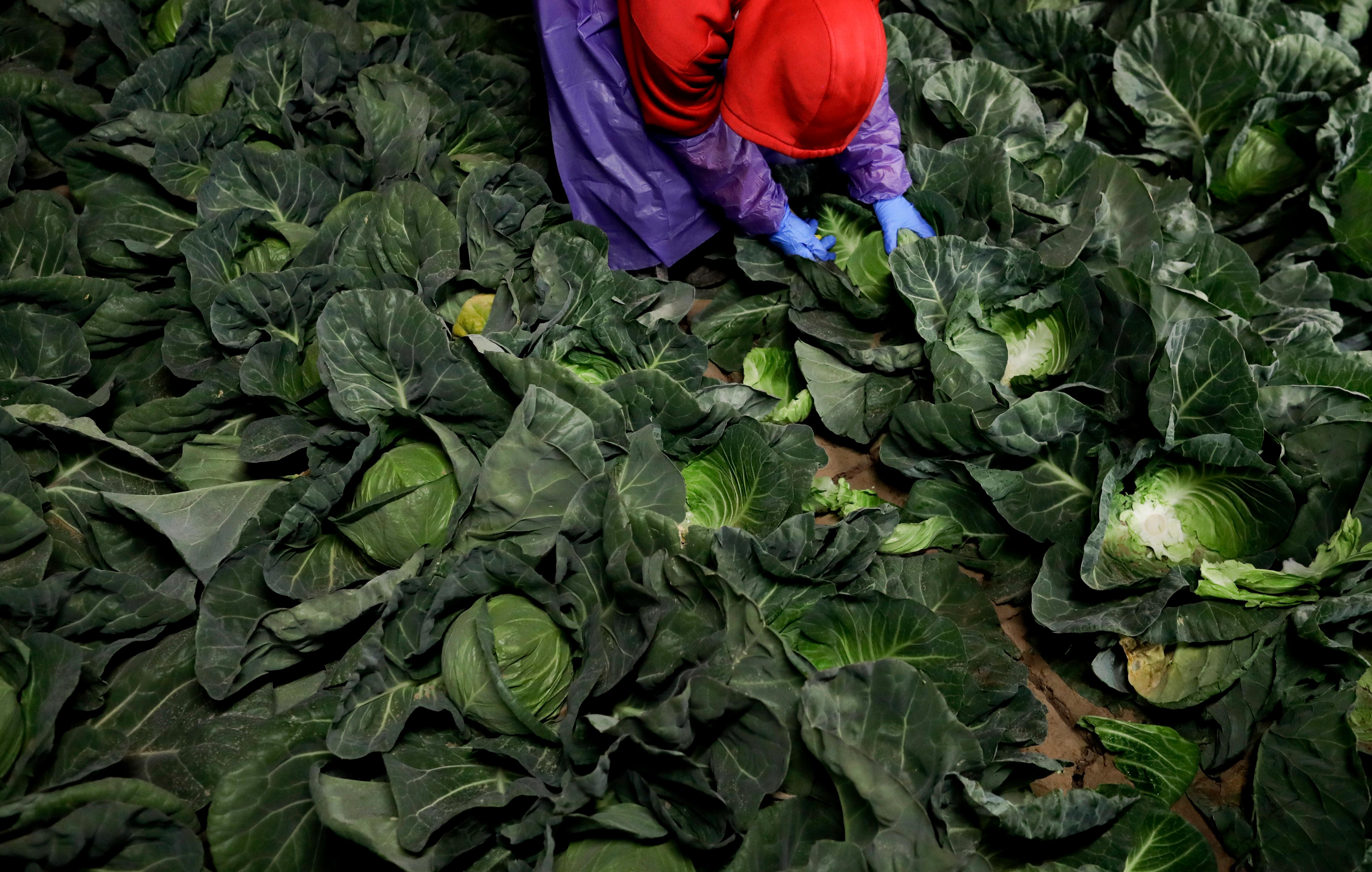 "In this March 6, 2018 photo, farmworker Elias Solis, of Mexicali, Mexico, picks cabbage before dawn in a field outside of Calexico, Calif. For decades, cross-border commuters have picked lettuce, carrots, broccoli, onions, cauliflower and other vegetables that make California's Imperial Valley ""America's Salad Bowl"" from December through March. As Trump visits the border for the first time as president on Tuesday, the harvest is a reminder of how little has changed despite heated rhetoric in Washington. (AP Photo/Gregory Bull)"