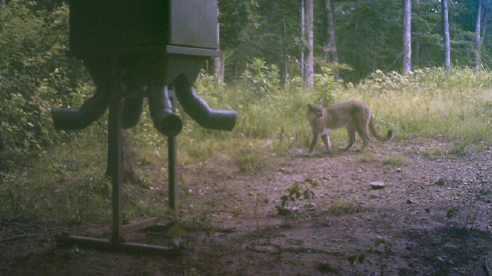 This image, dated Aug. 3, 2016, is from a remote trail camera in Humphreys County, Tenn. TWRA officials said this was the first confirmed cougar sighting in the state since several other confirmed reports in 2015. Most sightings were from remote, motion-activated trail cameras placed in the woods by deer hunters. (Photo: Contributed by TWRA)
