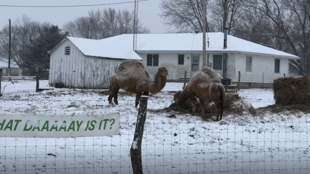 Inside the Storm: Camels graze in the Easter snow in West Central Illinois