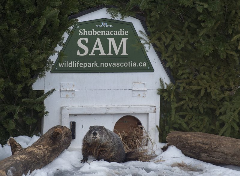 <p>Shubenacadie Sam looks around after emerging from his burrow at the wildlife park in Shubenacadie, Nova Scotia, Canada on Friday, Feb. 2, 2018. Sam's handlers announced on Friday the weather prognosticator failed to see his shadow and predicts an early spring. (Andrew Vaughan/The Canadian Press via AP)</p>