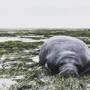 People save manatees marooned in bay drained by Irma