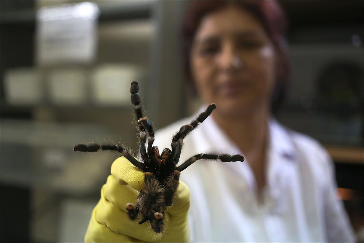 In this Jan. 15, 2016 photo, a worker holds a Avicularia or Tarantula spider at a museum of venomous snakes in Lima, Peru. The government�s National Health Institute has opened a small museum displaying 57 of the venomous reptiles to help people understand them and what to do if bitten. (AP Photo/Martin Mejia)