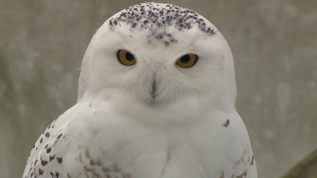 Snowy Owl stare, December 29, 2017 (WLUK/Eric Peterson)