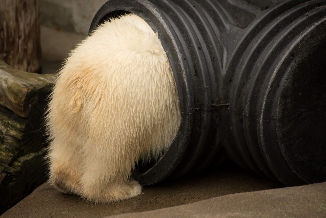 10-month-old polar bear cub Nora explores her quarantine enclosure at the Oregon Zoo. ©Oregon Zoo/ photo by Shervin Hess