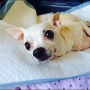Chihuahua left paralyzed after brutal attack