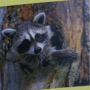 Dayton dealing with slew of raccoon incidents