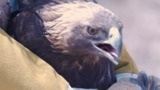 El Paso Zoo releases golden eagle into the wild