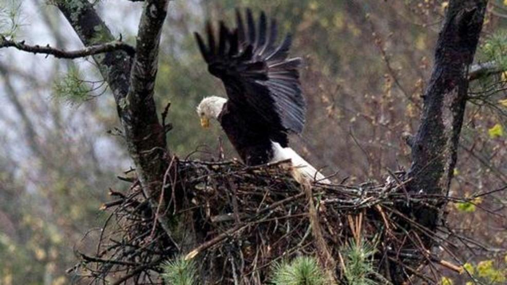 Lorain Ohio Ap A Wildlife Researcher For The State Of Says S Bald Eagle Potion Ears To Be Thriving After An Increase In Nests And