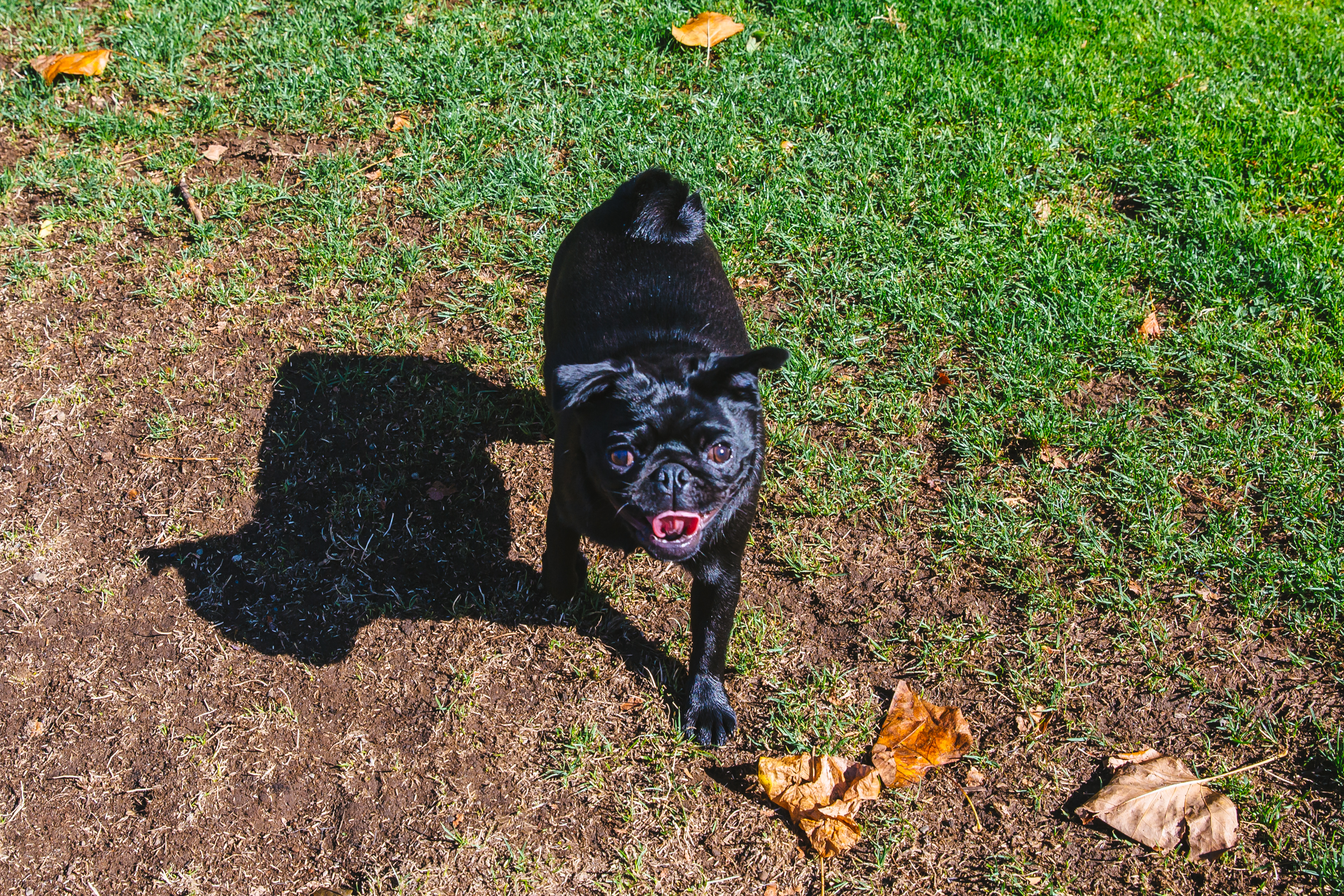 "This week in RUFFined news, we bring you Millie Bobby Brownrigg the Pug! Millie Bobbie is a one year old pug and was named after the actress who plays ""Eleven"" in Stranger Things (FYI, Stranger Things season two will return to Netflix this weekend on October 27). Millie Bobby is the biggest fan of Stranger Things and spends her days as the shop dog for Brownrigg Hard Cider in SODO! She likes cider drinks and sleeping. Me and MB have so much in common. MB likes her young pack-mates Ruby and Max Brownrigg and dislikes goodbyes. The Seattle RUFFined Spotlight is a weekly profile of local pets living and loving life in the PNW. If you or someone you know has a pet you'd like featured, email us at hello@seattlerefined.com or tag #SeattleRUFFined and your furbaby could be the next spotlighted! (Image: Sunita Martini / Seattle Refined)"