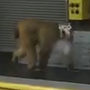 WATCH LIVE: Baboon shot with tranquilizer after escaping cage at San Antonio airport