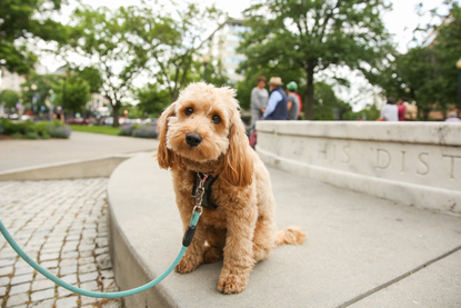RUFFined Spotlight: This Mini Goldendoodle is a volunteer at