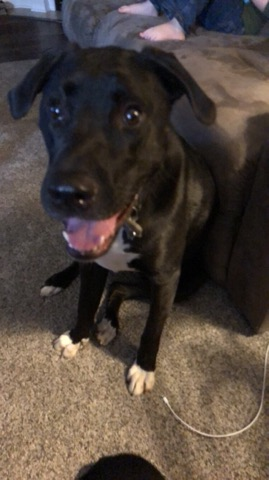 "<p>NAME: ZOEY</p><p>BREED: LABORADOR RETRIEVER</p><p>MISSING SINCE: JANUARY 20, 2018</p><p>WENT MISSING FROM: COLUMBIA</p><p>""The collar and cable she had been on was rolled up and placed by the side of the house like someone had placed it there, not near at full length like it would have been for her to pull it off herself."" -Taylor Dickneite, Owner</p><p></p>"
