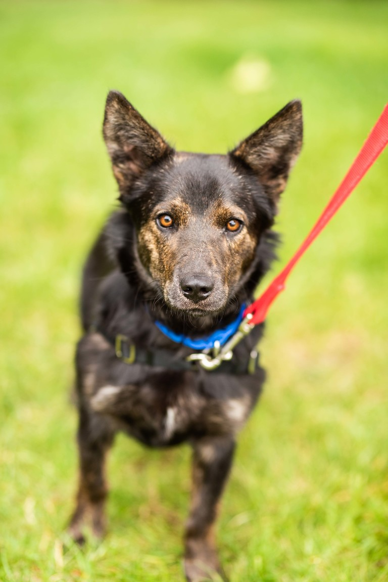 I'm Sunny, both by name and personality! I've got lots of energy as a one-year-old corgi and cattle dog mix. I'd love to find a family who loves to play as much as I do. I get along with older kids, dogs, and cats! Come meet me today!<p></p>