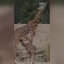 Greenville Zoo names baby giraffe
