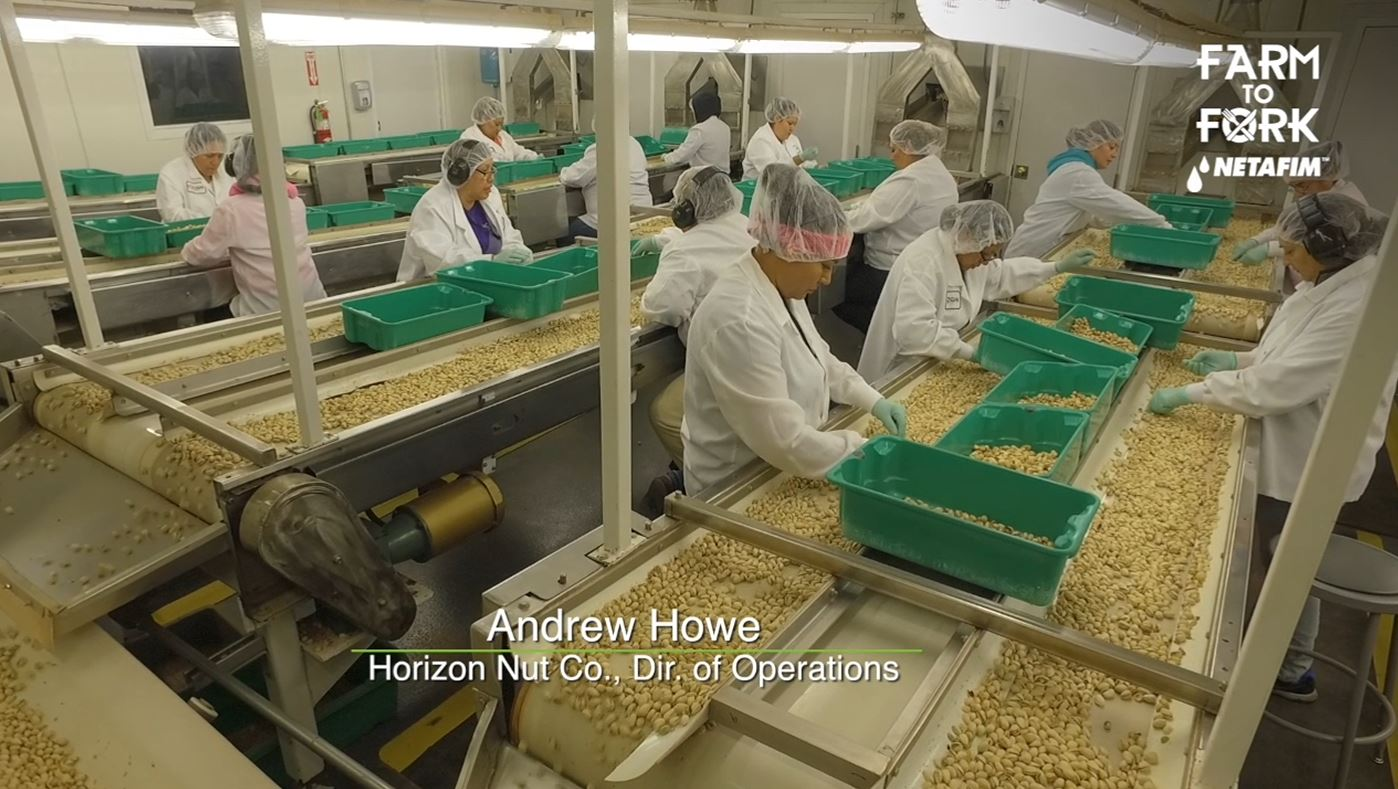 Hand sorting the pistachios