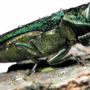 Emerald Ash Borer found within interior Cedar Rapids
