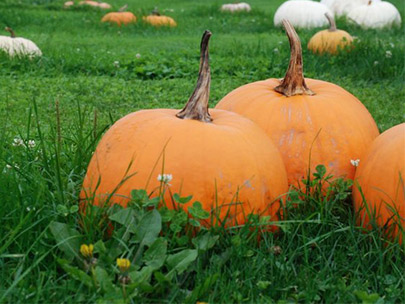 The Farm at Swan's Trail hosts an impressive pumpkin patch (Rebecca Mongrain/ Seattle Refined)