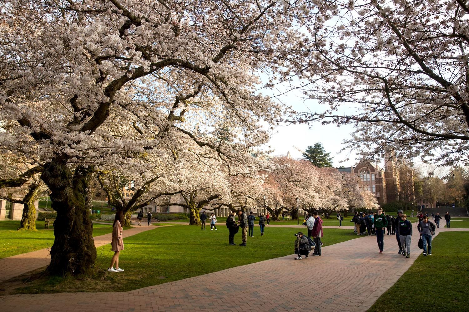 A few visitors walk along the 30 blooming Yoshino cherry trees on a quiet morning at the University of Washington, Monday March 19, 2018. The trees were originally purchased by the university in 1939 and planted in the Washington Park Arboretum, and then later transplanted in the Quad in 1962. The trees will be hitting peak bloom this week - so make sure to check them out! (Sy Bean / Seattle Refined)