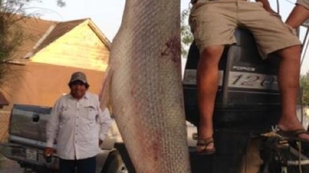 Bow and arrow used to catch 300 pound fish kgbt for Lopez lake fishing