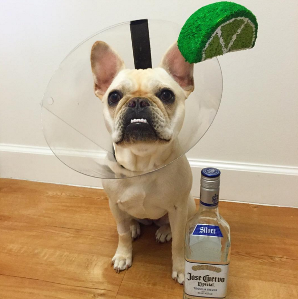 IMAGE: IG user @capcityfrenchie / POST: Just add salt! #cincodemayo #cincodedrinko #tequila #margarita #conelife #perrito