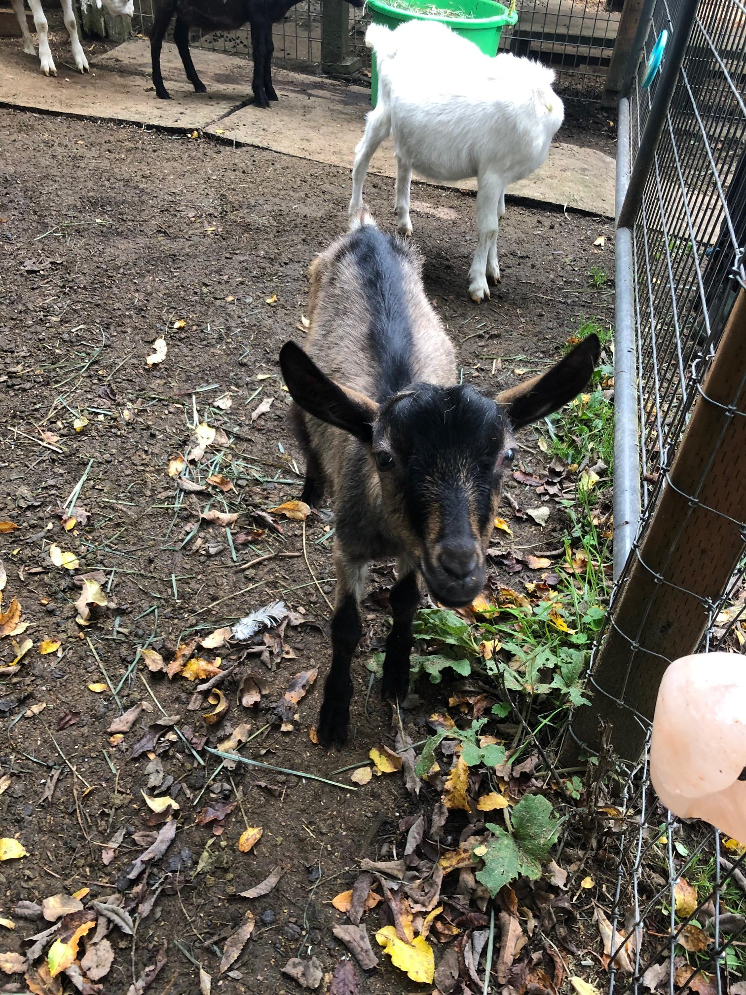 Puget Sound Goat Rescue has helped 3,500 goats over the past 20 years. (Image: Seattle Refined)