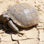 Hundreds of desert tortoises up for adoption this weekend with no adoption fee