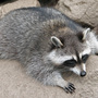 Police investigate reports of 'zombie' raccoons