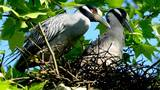Rare birds found nesting in Harrisburg neighborhood