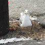 Mama seagull sets up nest amidst roar of Seattle ferry traffic
