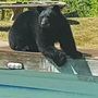 'Smarter than average' bear takes a dip in Bellingham woman's pool
