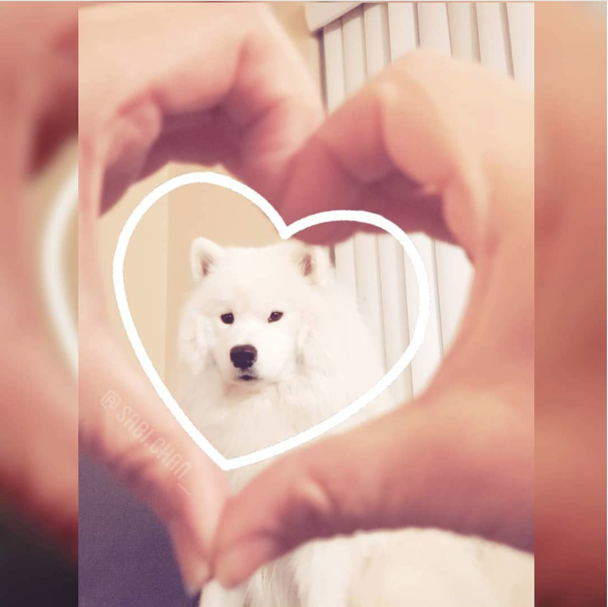 This samoyed has our heart every day! (Image via @sabi.chan_)