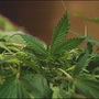Police: 3 to face charges in Tyrone marijuana bust