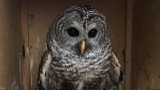 Policeman rescues injured owl in road; 2nd time in 3 months