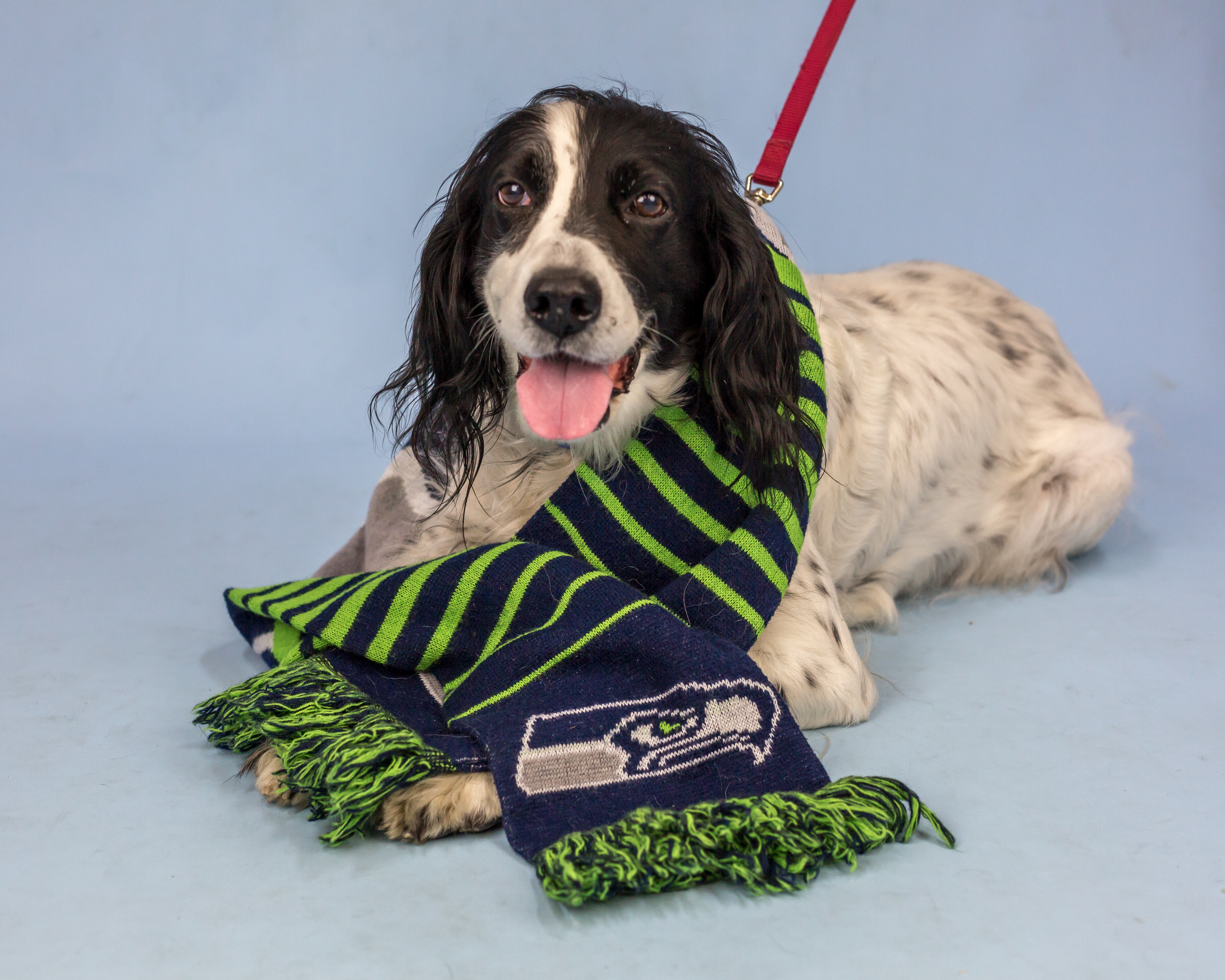 You can call me Belle! I'm a nine year old English Setter looking for a loving family. Loyal and devoted describe me well and I'd do best with an easygoing dog companion or as your queen bee lady! If I could join a regular, predictable routine I'd be such a happy girl. Gentle, older kids would be great human siblings for me as I love being with my people most. Can I be your eager to please, game-watching companion?