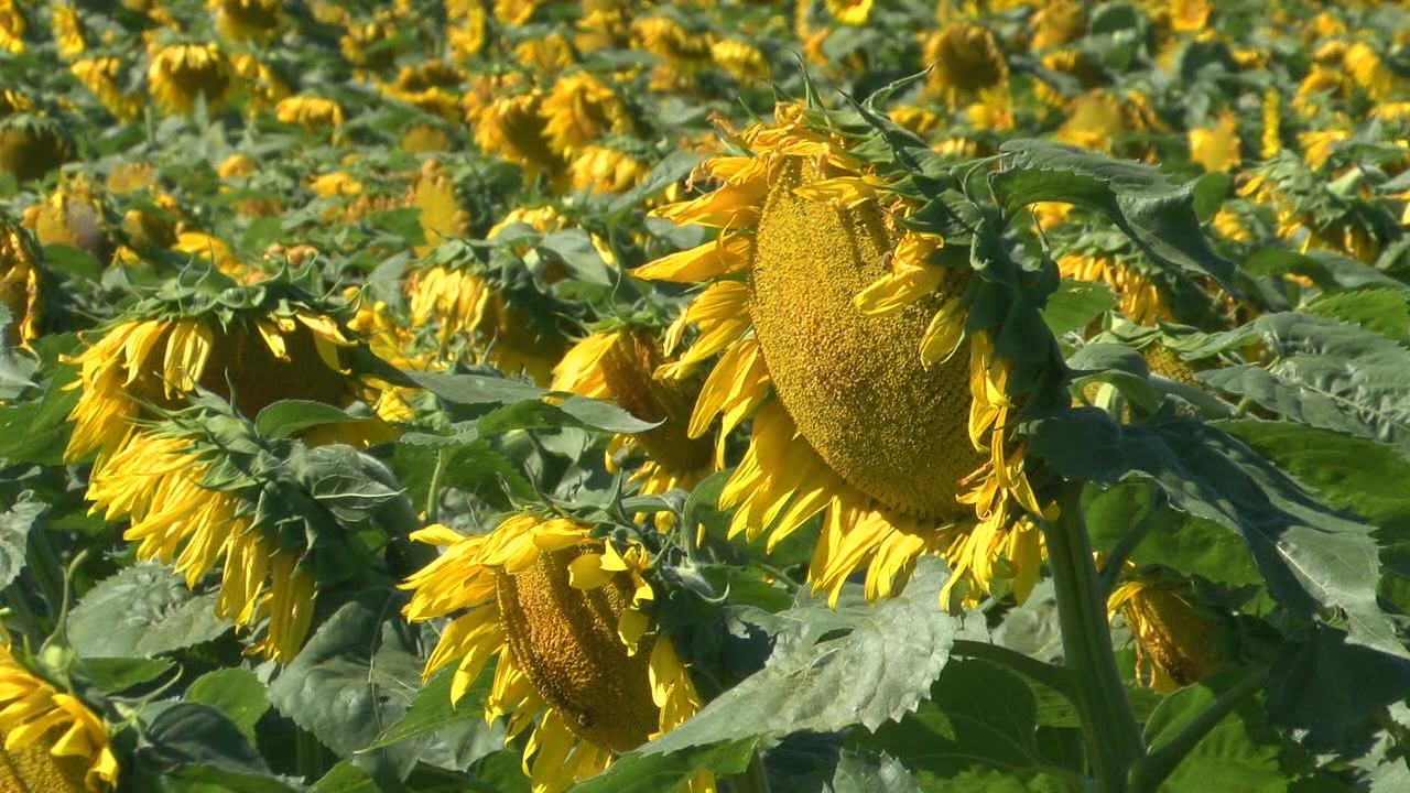 Last August, seen here, the sunflowers were in full bloom. This year, not so much.