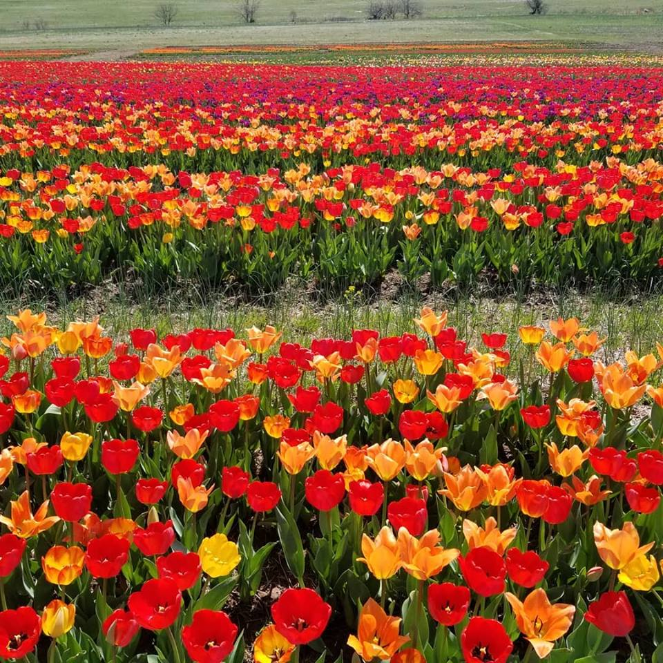 Burnside Farms in Nokesville is home to over a million tulips. (Burnside Farms)