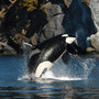 New app lets users help scientists save starving orcas