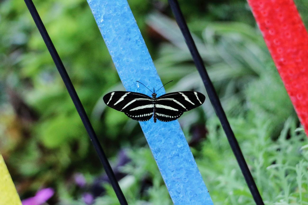 Zebra Longwing / Image: Tommy Zipperstein // Published: 5.5.17
