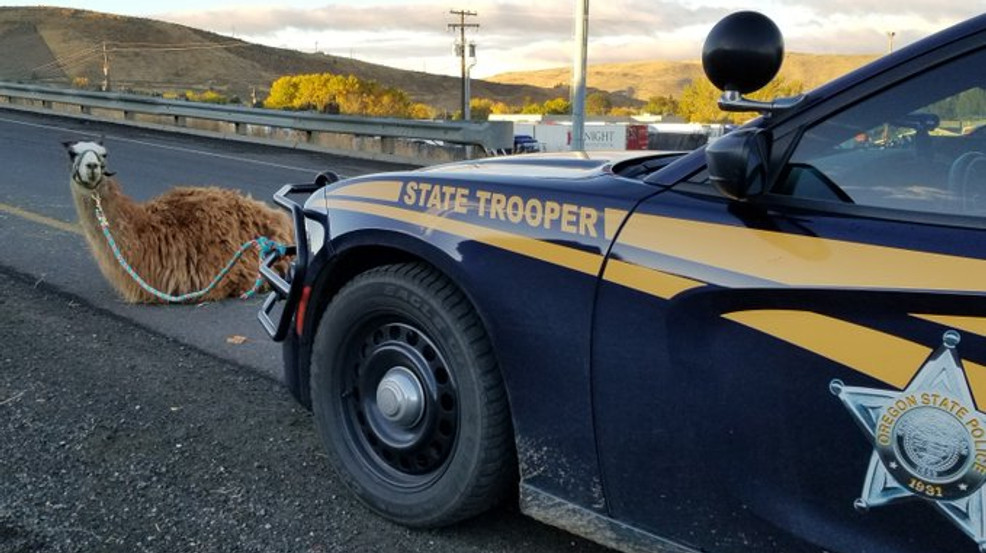 Momma Llama on I-84 (Courtesy Oregon State Police.).jpg