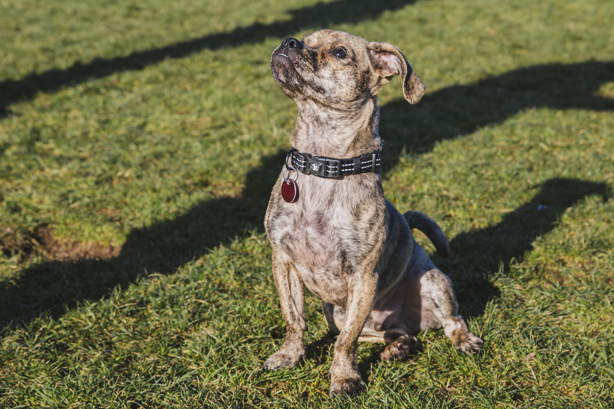 This is a very special RUFFined spotlight this week! Brisket is our first Pet of the Week for 2019, and what an honor that is. Meet Brisket, a one year old Pug/Dachshund Mix. Brisket is a southern-born rescue who is living it up in the PNW. He's a fast moving, energetic little pup with a big personality and an even bigger underbite! Brisket likes food, treats, his fur-sister Harper, running, hiking and riding the bus. He dislike being cold, rainy weather, watching people eat, wearing sweaters and car rides. You can follow Brisket's journey through life on his instagram @catdaug.{ }The Seattle RUFFined Spotlight is a weekly profile of local pets living and loving life in the PNW. If you or someone you know has a pet you'd like featured, email us at hello@seattlerefined.com or tag #SeattleRUFFined and your furbaby could be the next spotlighted! (Image: Sunita Martini / Seattle Refined).