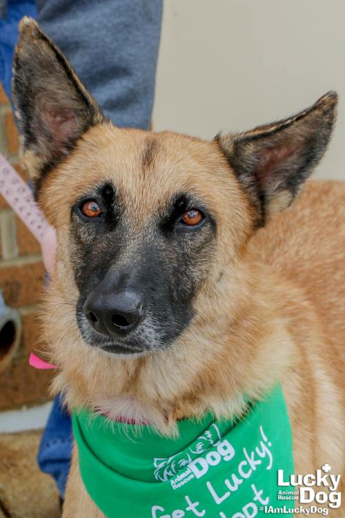 Reina here and I'm a gorgeous 5 year old Malinois mix! But don't think for one second I'm just a pretty face. I'm a super smart girl and you will need to make sure you can keep not only my body active, but my brain.{ }If interested in adopting, contact Lucky Dog Animal Rescue (Lucky Dog Animal Rescue)